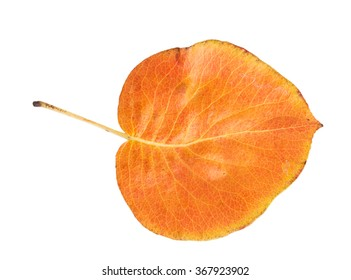Orange autumn leaf isolated on a white background
