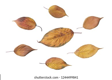 orange autumn leaves isolated on white background. foliage leafs