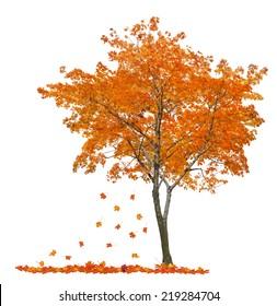 orange autumn maple tree isolated on white background
