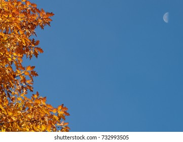 Orange autumn oak leaves in front of a blue sky with moon - with copy space