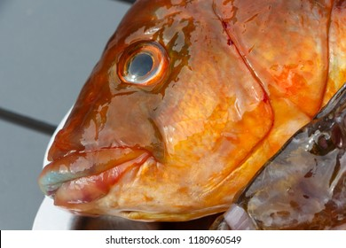 Orange Ballan wrasse on a pewter dish after fishing in Brittany
