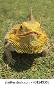 An orange Bearded Dragon in the grass.
