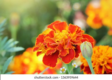 Orange beautiful Marigold flower (Tagetes erecta, Mexican, Aztec or African marigold) in the garden.
