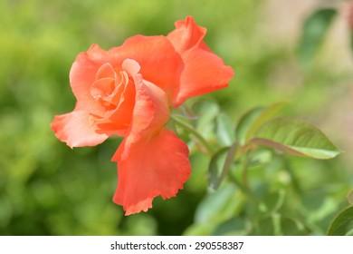 Orange beautiful rose with soft background