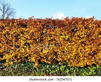 orange beech hedge with blue sky above, and green ivy below