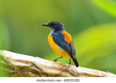 Orange Bellied Flowerpecker