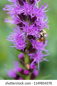 Orange belted bumble bee on tall purple flowers with soft focus background. Original flower photography shot locally at Denver Botanic Gardens July 2018.