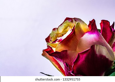 orange bicolor rose on a light background
