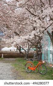 Orange bicycle in the sakura tree garden