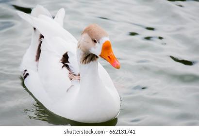 orange billed white duck in water