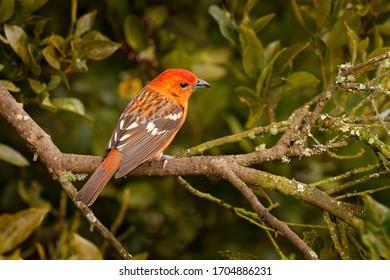 Orange bird Flame-colored Tanager, Piranga bidentata tropical bird from Savegre, Costa Rica. Birwatching in South America.