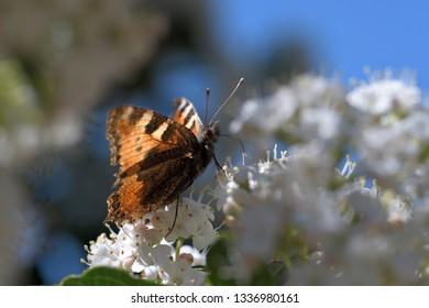 Orange and black butterfly feeding nectar on white flowers