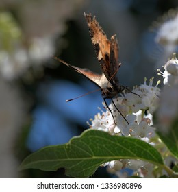 Orange and black butterfly in front feeding nectar on white flowers closeup