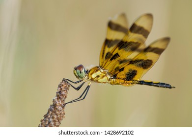 A orange and black Holloween Pennant dragonfly clinging to a brown piece of grass with a smooth brown and light background.