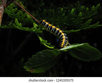 Orange and black larva