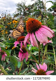 Orange and black Monarch butterfly on a fading hot pink coneflower in a summer flower garden.