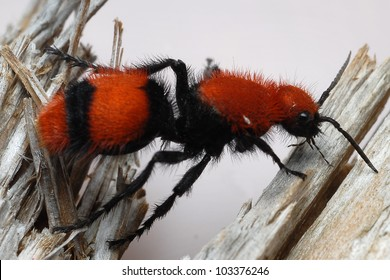 Orange and black velvet ant, cow killer ant (Mutillidae)