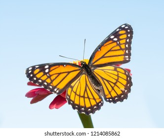 Orange and black Viceroy butterfly on a pink Zinnia warming up in morning sun