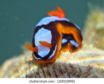 Orange, Black, White Nudibranch Chromodoris westraliensis, Endemic to Western Australia