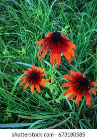 Orange Black-eyed Susans