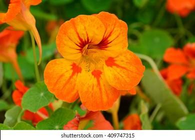 Orange Bloomed Nasturtium  in Garden
