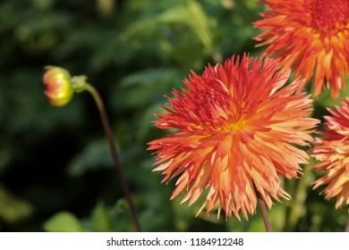orange blooming Dahlias (Dahlia)