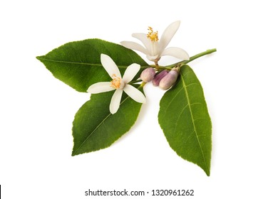 orange blossom branch with buds and leaves isolated on white