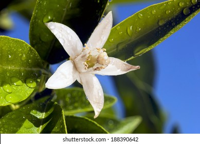 Orange blossom macro, extreme closeup with water drops, green leaves, deep blue sky behind.