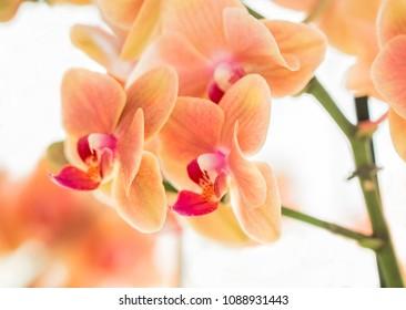 Orange Blossoms - Orange Orchids (Orchidaceae)