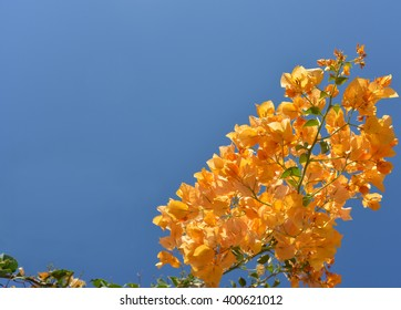 Orange  bougainvillea against blue sky background. Image contains free space.