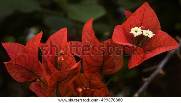 Orange bougainvillea flowers