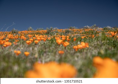orange bright colored wildflowers on the poppy field of Antelope Valley California during the start of spring and the super bloom. close up of the flowers and landscape.