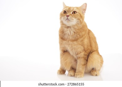 orange British short hair cat isolated on white background