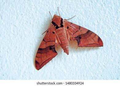 Orange brown black sphink moth with thorax black line