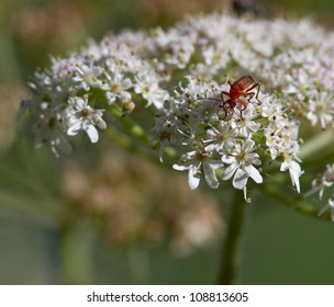 Orange Bug on Wild Carrot flower.