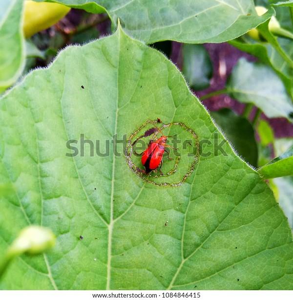 Orange Bug in Squash Leaf