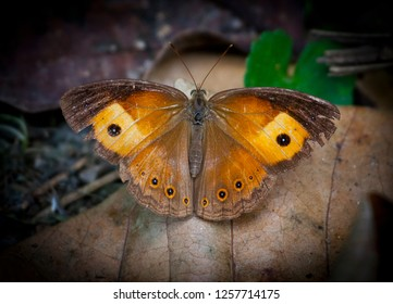 Orange Bushbrown butterfly with wings open on a leaf in Babinda Rotary Park, Queensland, Australia.