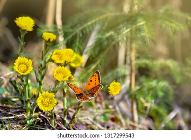 Orange butterfly with black dots scarce copper on yellow flowers coltsfoot ( Tussilago farfara, tash plant, coughwort, farfara ) in spring forest in sun light
