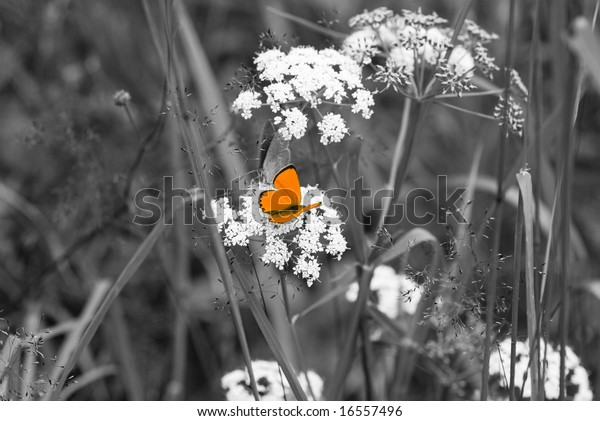 Orange Butterfly Black White Backgrounds Stock Photo Edit Now 16557496