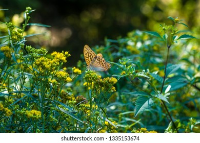 orange butterfly with dark spots (Argynnis paphia) among yellow flowers