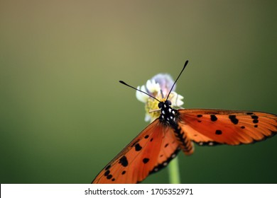 an orange butterfly enjoying its food in the afternoon before sunset