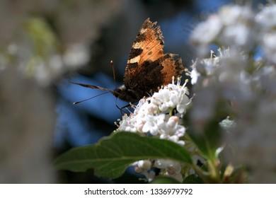 Orange butterfly feeding nectar on white florets