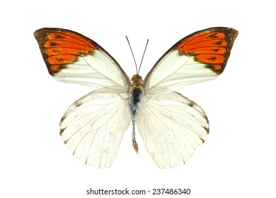 orange butterfly isolated, Set of realistic colorful tropical butterflies and insect, zoology,wild ,entomology, one alive exotic butterfly with beautiful wing collection ,insect animal stuff icon