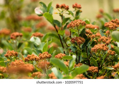 Orange Butterfly Milkweed Flowers