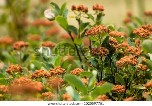 Orange Butterfly Milkweed Flowers
