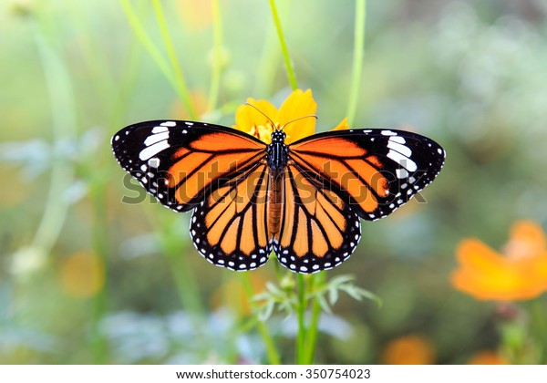 Orange butterfly on orange cosmos flowers