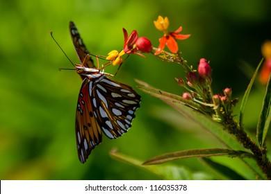Orange Butterfly on Flowers