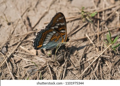 The orange butterfly on the ground, summer time, dry straw, green grass. The Far East of Russia, Amurskaya oblast, Ignashino village.