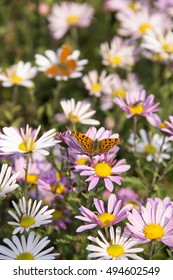orange butterfly on pink camomile