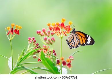 Orange butterfly on red flowers